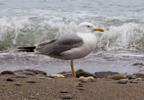 A seagull in Novyi Svet