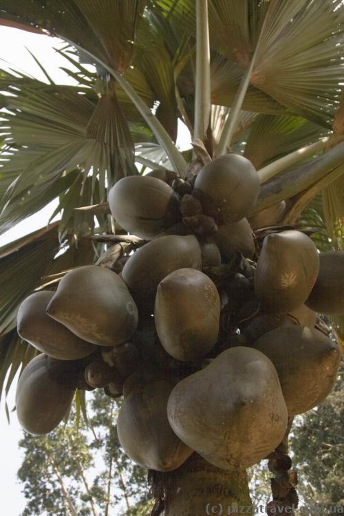 Дабл-кокос, редкое растение, цена плода достигает $100.