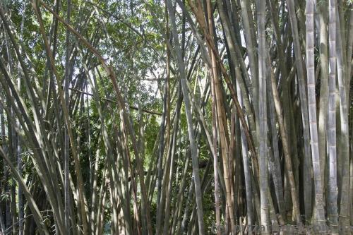 Заросли гигантского бамбука