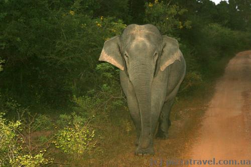 Слону це явно не сподобалося, він зламав невелике дерево та побіг за нашим джипом.