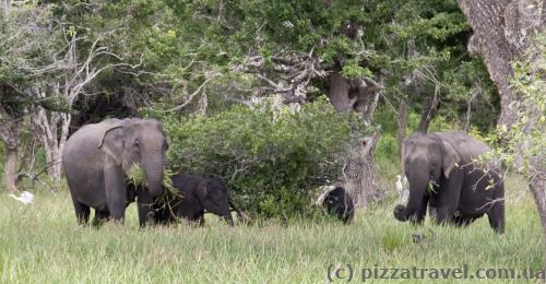 Cім'я слонів