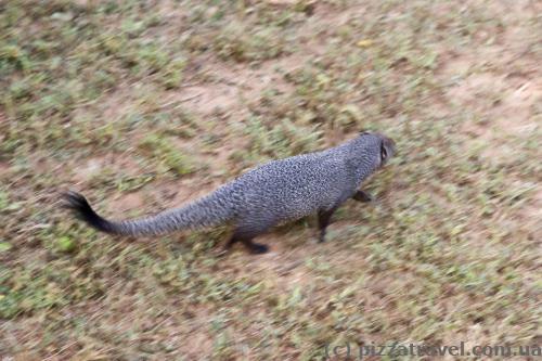 Прудконогий мангуст