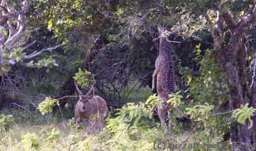 Ось так олені дістають високі гілки.