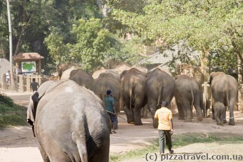 Elephants walk through the town to the river.