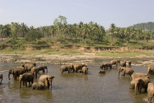 Elephants in Pinnawala