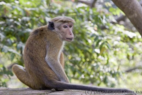 Мавпа в Полоннаруві