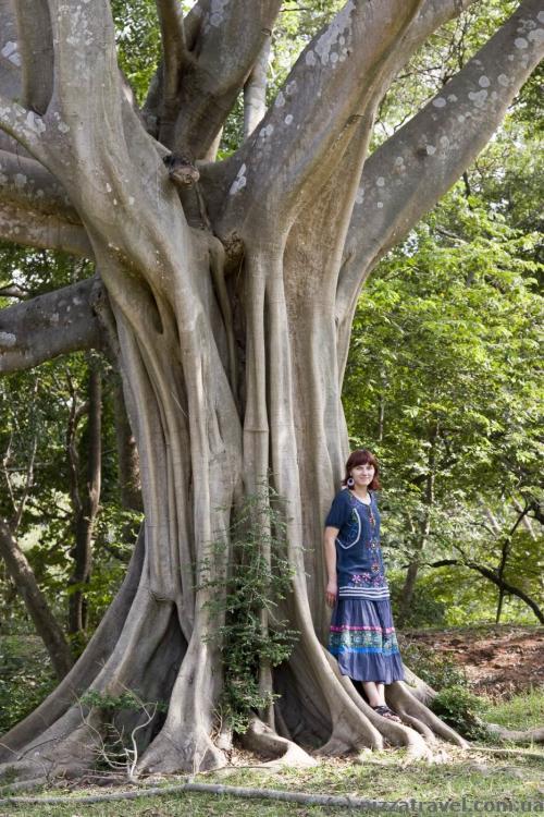 Цікаве дерево в Полоннаруві