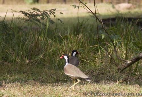 Птахи в Полоннаруві