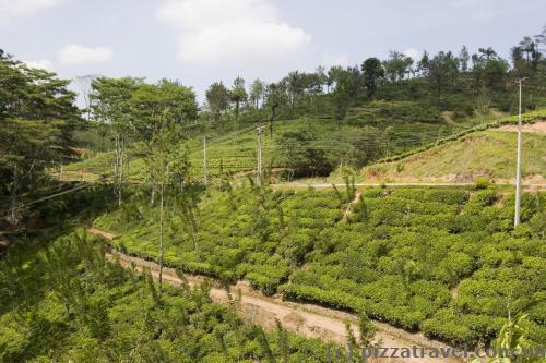Чайні плантації на Шрі-Ланці