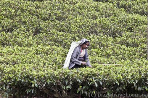 Збір чаю на Шрі-Ланці