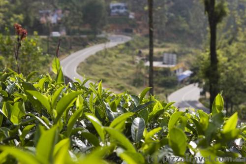Tea grows everywhere - in the mountains, near the houses, along the roads.