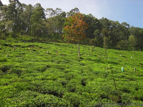 Вид на чайні плантації з поїзда