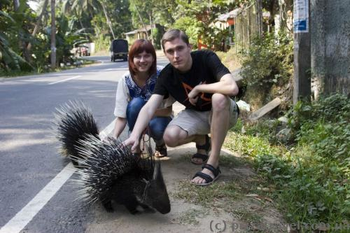 Porcupines on the street