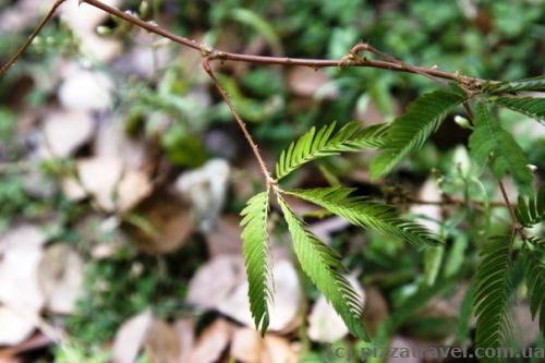 Если дотронуться до этого растения, его листья моментально складываются.