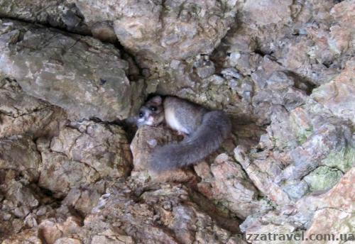 Forest dormouse (Dryomys nitedula)