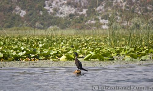 Скадарське озеро