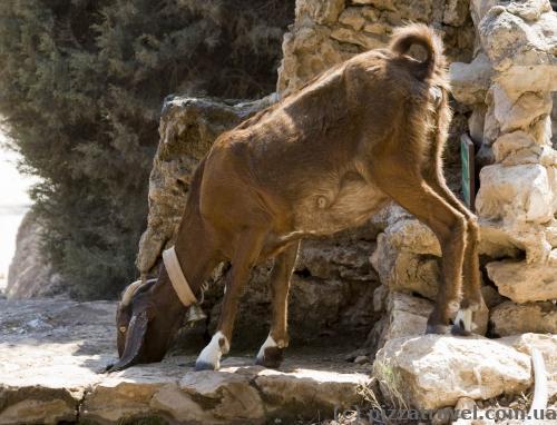 Кози й інші тварини приходять пити воду до нечисленних джерел.