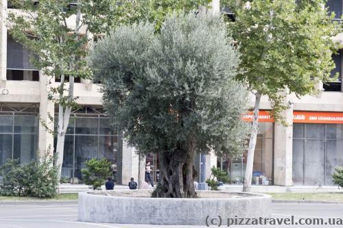 Оливкове дерево
