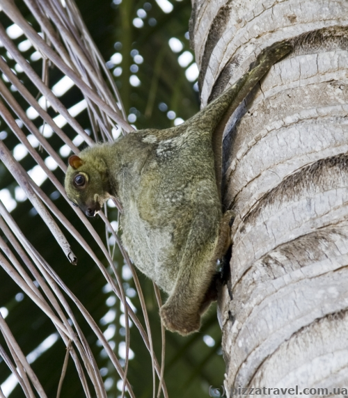Flying squirrel on the Perhentian Islands