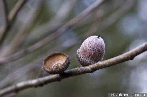 Цікаво зростаючі жолуді