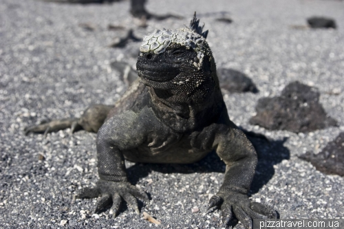 Marine iguanas on the Fernandina island
