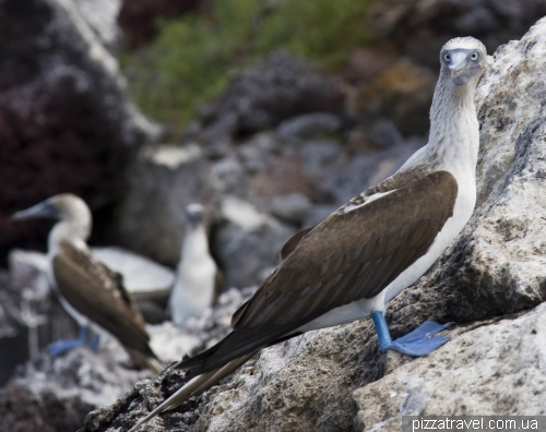 Blue-footed Booby on the Mariela island