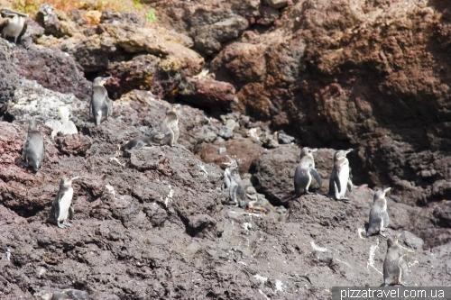 Galapagos penguins on the Mariela island