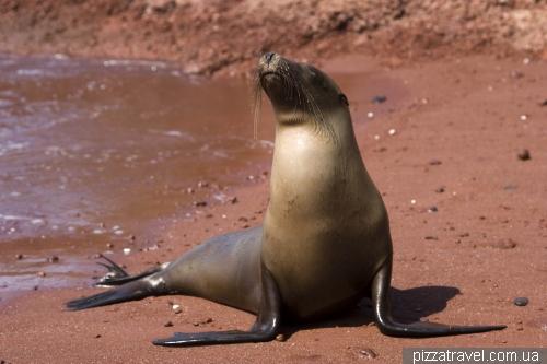 Морской лев на красном песке