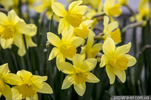 Daffodils in Vylkove