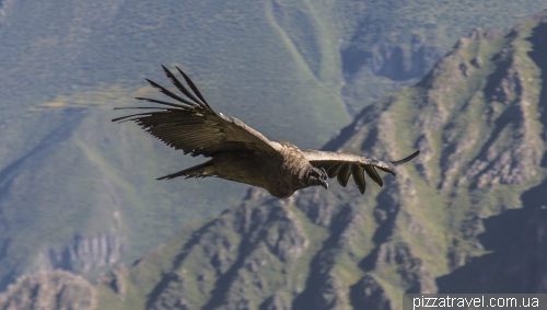 Condors in Colca Canyon