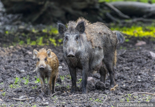 Boars in the zoological garden in Hannover