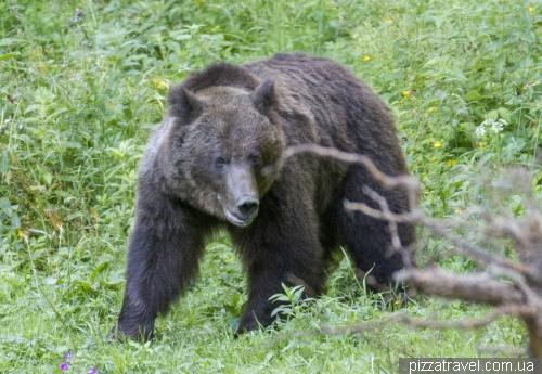 Ведмеді в Румунії