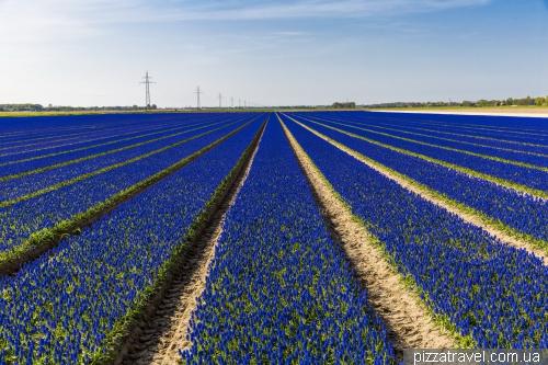 Фестиваль тюльпанов в Нидерландах
