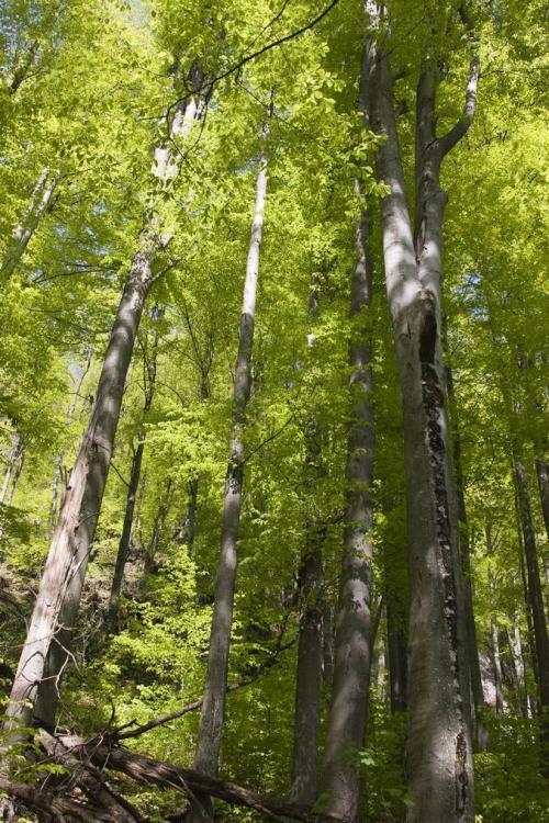 Девственный буковый лес