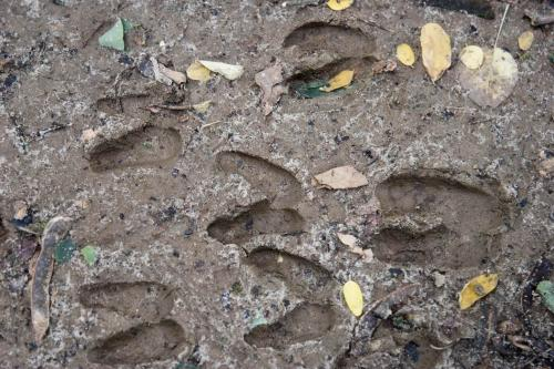 Animal tracks in the Kaniv Nature Reserve