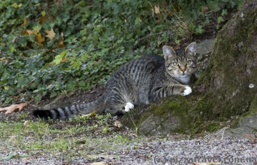 Кот около замка Хэмельшенбург