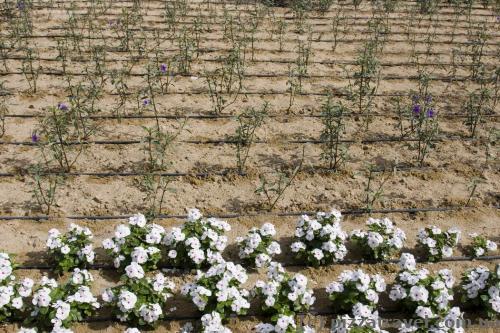 Каждое растение в Эмиратах поливается отдельно.