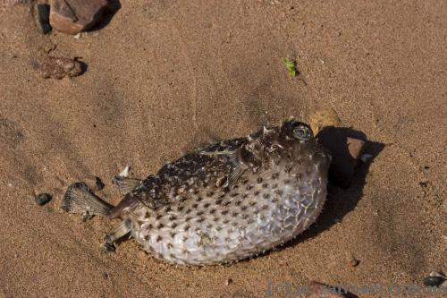 Fugu fish on the beach near Aqaba