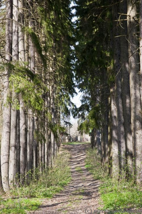 Spruce alley