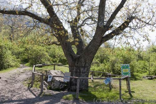 Walnut-tree of Nikulin