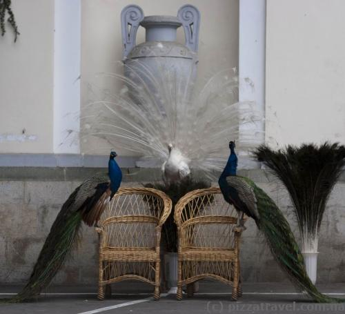 Peacocks near the lower entrance to the Nikitsky botanical garden