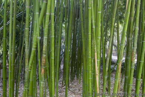 Bamboo in the Nikitsky botanical garden