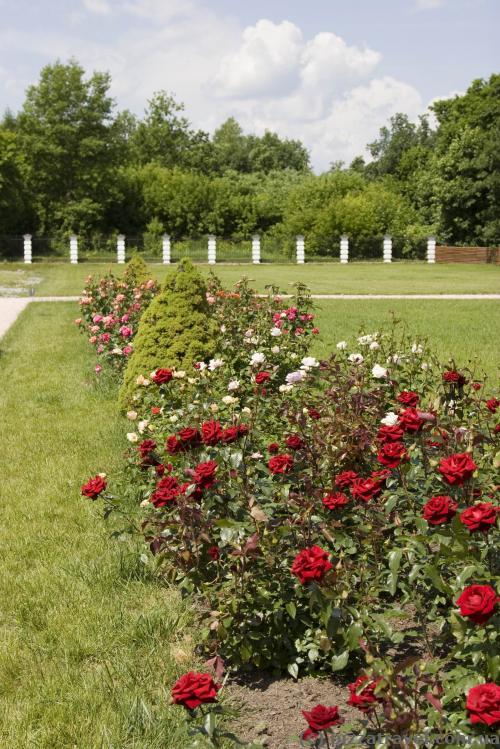 В парке около дворца много роз