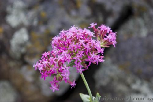 Silene hypanica grows only in this place.
